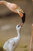 Greater Flamingos Posters - Greater Flamingo Mother And Chick Poster by Tim Fitzharris