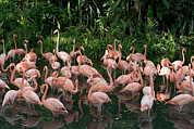 Greater Flamingos Posters - Greater Flamingo Phoenicopterus Ruber Poster by Cyril Ruoso