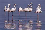 Greater Flamingo Prints - Greater Flamingo Phoenicopterus Ruber Print by Michael and Patricia Fogden