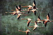 Flock Of Bird Art - Greater Flamingo Phoenicopterus Ruber by Tui De Roy