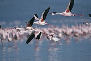 Greater Flamingos Posters - Greater Flamingos In Flight Over Lake Poster by Roy Toft