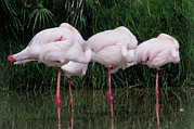 Greater Flamingo Prints - Greater Flamingos Sleeping Print by Tony Camacho
