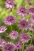 Apiaceae Posters - Greater Masterwort Astrantia Major Roma Poster by VisionsPictures