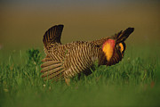 Prairie Chicken Posters - Greater Prairie Chicken Male Poster by Tim Fitzharris