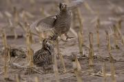 Prairie Chicken Prints - Greater Prairie Chickens In A Corn Print by Joel Sartore