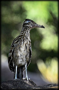 Roadrunner Art - Greater Roadrunner  by Saija  Lehtonen
