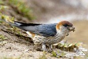 Swallow Photos - Greater Striped Swallow by Peter Chadwick