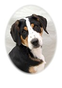 Greater Swiss Mountain Dog Prints - Greater Swiss Mountain Dog 1255 Print by Larry Matthews