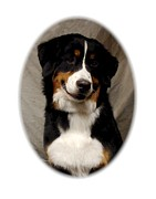 Greater Swiss Mountain Dog Prints - Greater Swiss Mountain Dog 274 Print by Larry Matthews