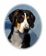 Greater Swiss Mountain Dog Prints - Greater Swiss Mountain Dog 309 Print by Larry Matthews