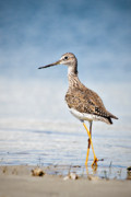 Wildlife Prints - Greater Yellow Legs at Rachel Carson Estuarine Reserve Print by Bob Decker