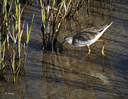 Wildlife Genre Prints - Greater Yellowlegs At SPI Print by Roena King