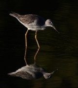 Jim Cumming Posters - Greater Yellowlegs Poster by Jim Cumming