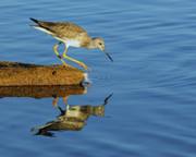 Tony Photos - Greater Yellowlegs by Tony Beck