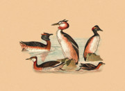 Eftalou Art - Grebes by Eric Kempson