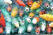 Large Metal Prints - Greedy Koi Metal Print by Ext You Would Like To Appear As A Byline For Your Photos.