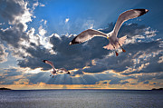 Flying Photos - Greek Gulls With Sunbeams by Meirion Matthias