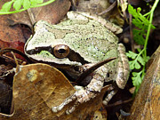 Forest Floor Prints - Green and Brown Frog Print by Cindy Wright