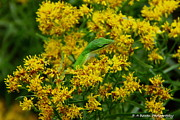 Florida Nature Photography Originals - Green Anole hiding in Golden rod by Barbara Bowen