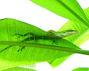 Lit Posters - Green Anole On Leaf With Silhouette Poster by Joseph Connors