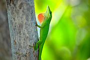 Chameleon Prints - Green Anole Print by Rich Leighton