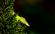 Framedart Prints - Green Anole Print by Scott Helfrich