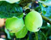 Decor - Green Apples by Cathie Tyler
