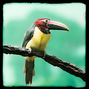Bird Pictures Framed Prints - Green Aracari Toucan Framed Print by Gary Heller