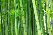 Indigenous Culture Prints - Green Bamboo Trees Print by Imagewerks