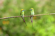 Perching Prints - Green Bee Eater Couple Print by Munish Kaushik Photography
