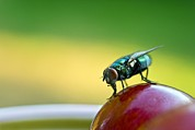 Eating Entomology Metal Prints - Green Bottle Fly On A Grape Metal Print by David Nunuk