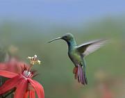 Green Breasted Mango Hummingbird Male Print by Tim Fitzharris