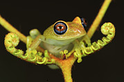 Madagascar National Park Prints - Green Bright-eyed Frog Boophis Viridis Print by Thomas Marent