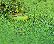 Animal Eye Prints - Green Bullfrog In Pond Print by Patti White Photography