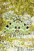 Blending In Posters - Green Carpet Moth Poster by Dr Keith Wheeler
