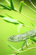 Flap Prints - Green Chameleon In Mozambique Print by Alex Bramwell