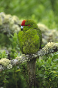 Amazon Parrot Prints - Green-cheeked Amazon Parrot Amazona Print by Konrad Wothe