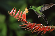 Epiphyte Photos - Green-crowned Brilliant Heliodoxa by Michael & Patricia Fogden