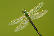 Junius Posters - Green darner Poster by Mircea Costina Photography