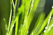 Grass Blade Framed Prints - Green dewy grass  Framed Print by Elena Elisseeva