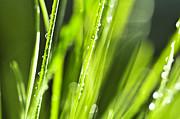 Green Dewy Grass  Print by Elena Elisseeva