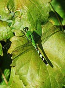 Bamhs Blair - Green Dragonfly