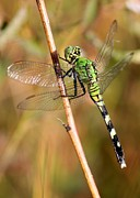 Flying Insects Posters - Green Dragonfly Closeup Poster by Carol Groenen