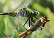 Dragonfly Macro Photos - Green Dragonfly in Marsh by Carol Groenen