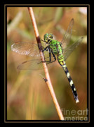 Dragonfly Art Framed Prints - Green Dragonfly in the Marsh with Border Framed Print by Carol Groenen