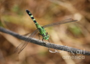 Flying Insect Prints - Green Dragonfly on Twig Print by Carol Groenen
