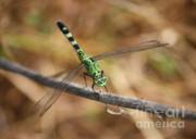 Green Dragonfly On Twig Print by Carol Groenen