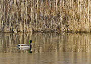 Green Photos - Green Drake Reflections by LeeAnn McLaneGoetz McLaneGoetzStudioLLCcom