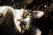 Tabby Cat Photos - Green Eyes by Matt Dobson