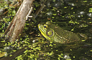 Landscape Photograpy Framed Prints - Green Frog 4298 Framed Print by Michael Peychich